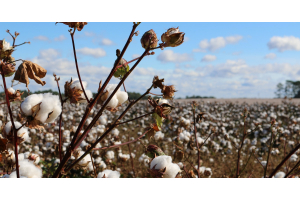 How weeds can affect the cotton crop?