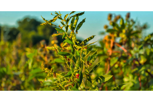 Nutrient & Weed Management in Pigeon pea farming