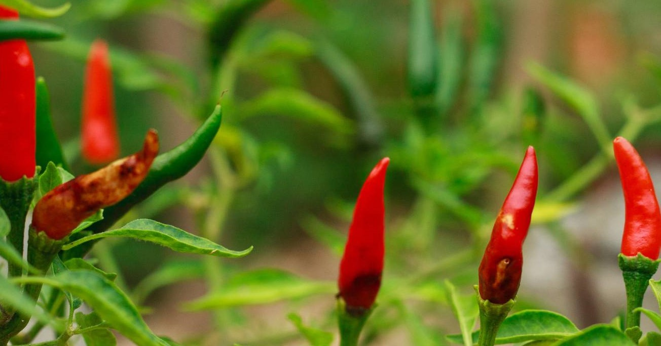 How to control Anthracnose disease in Chilli