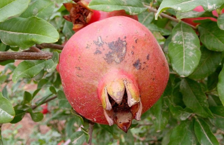 Anthracnose disease of Pomegranate