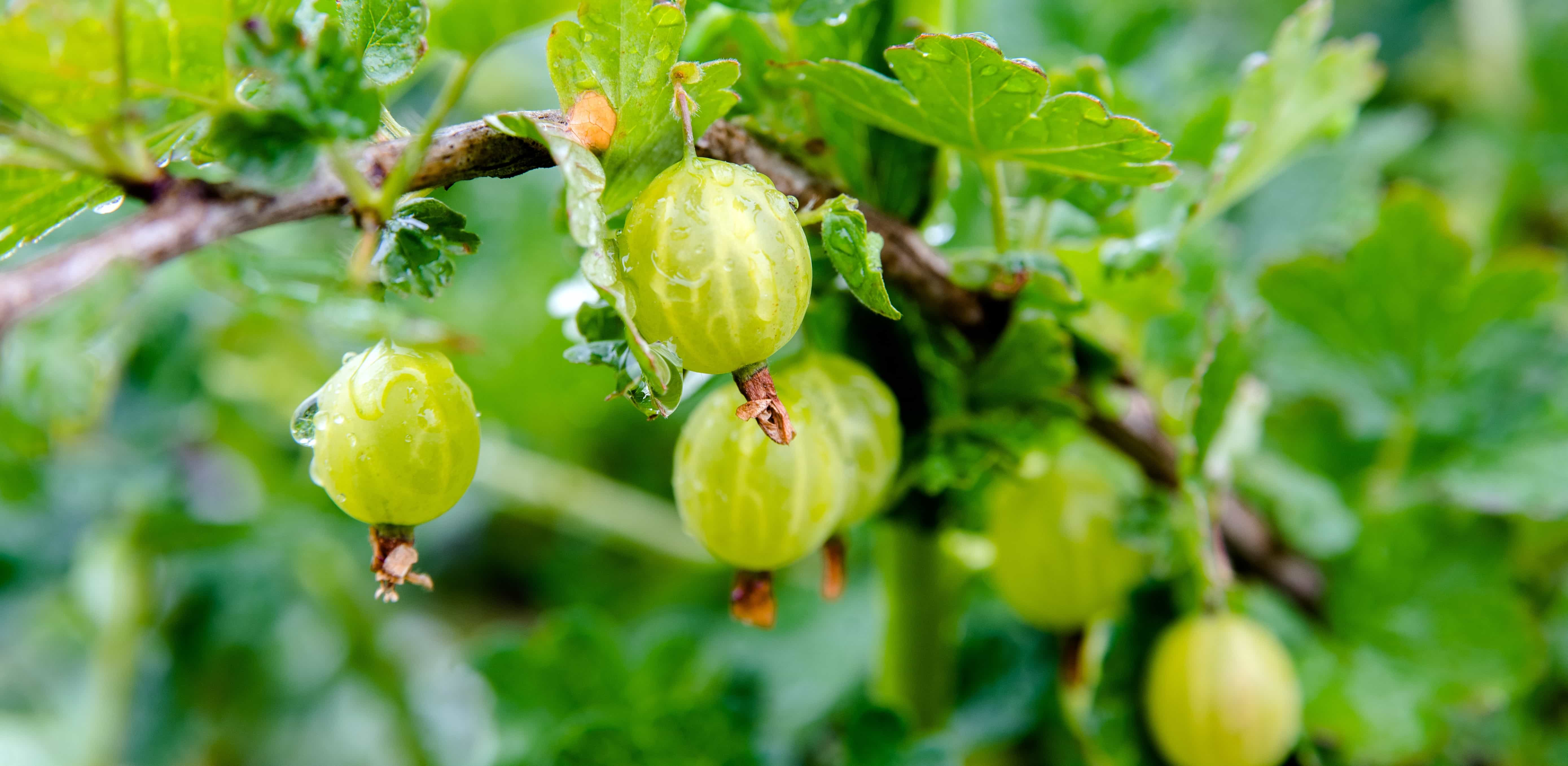 Climatic & Soil requirement for growing Indian gooseberry