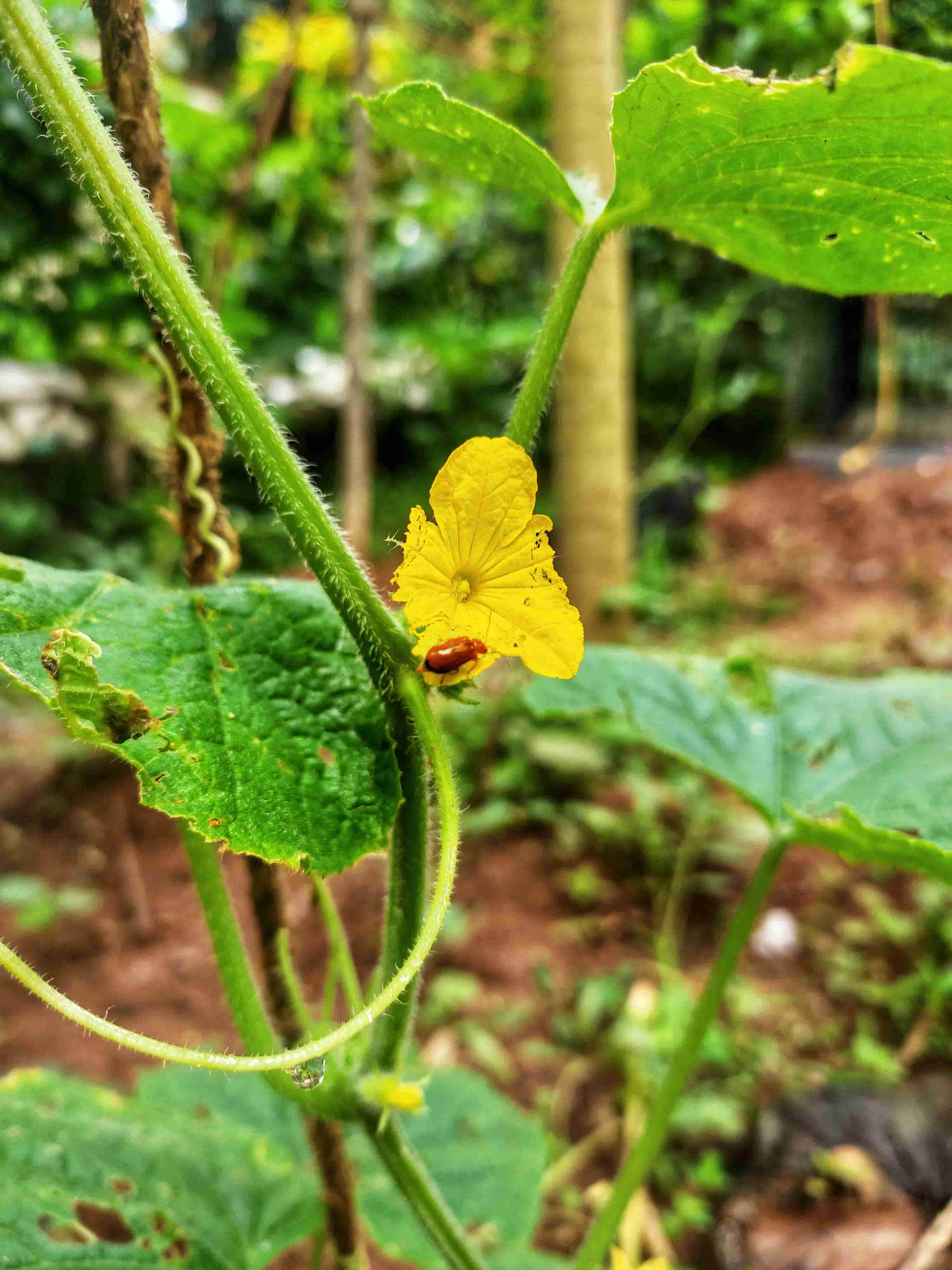 How beetle damages the Bitter gourd crop?