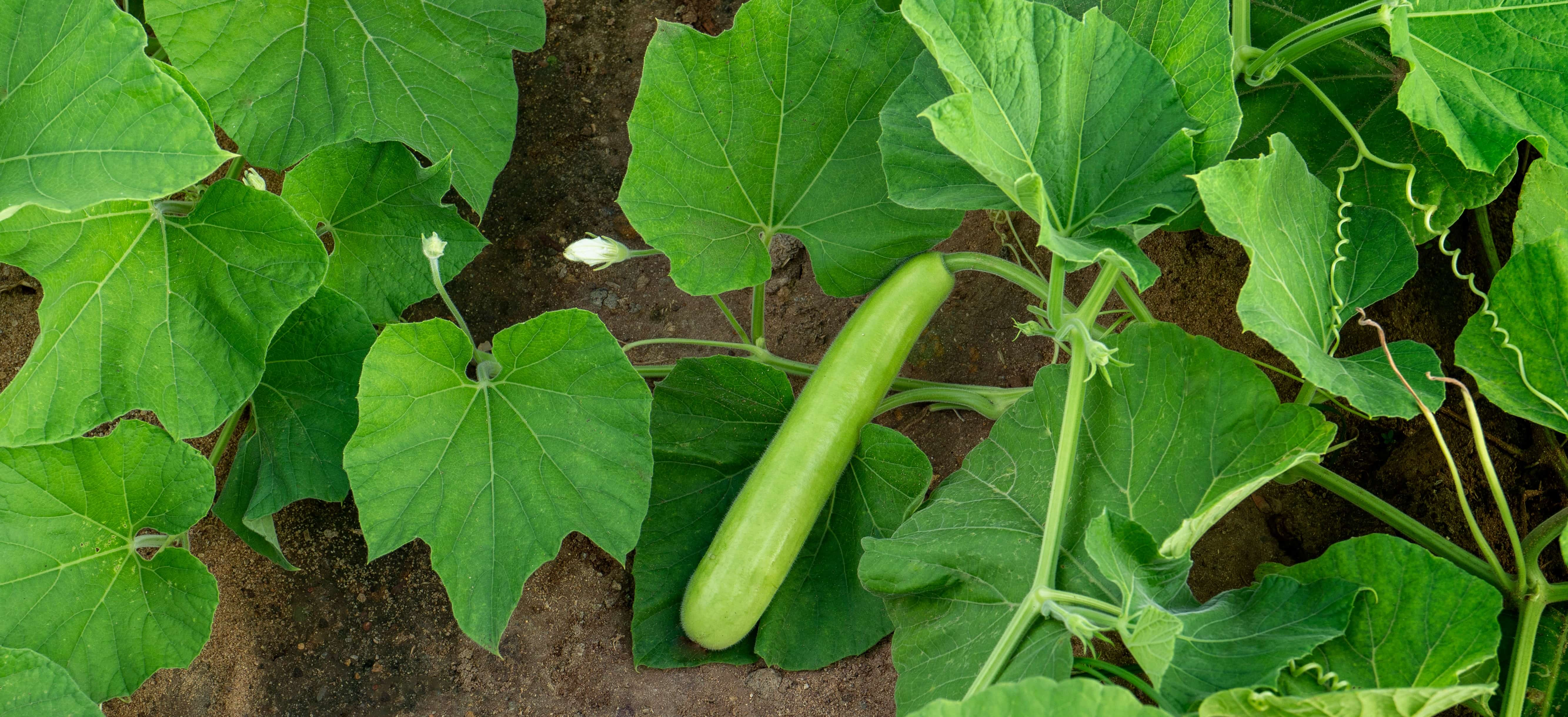What should be the proper climate for Bottle gourd cultivation?