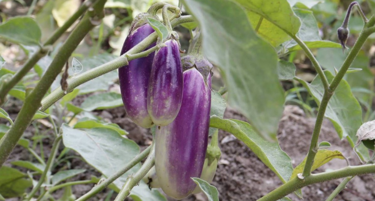 Proper time and method of preparing brinjal nursery