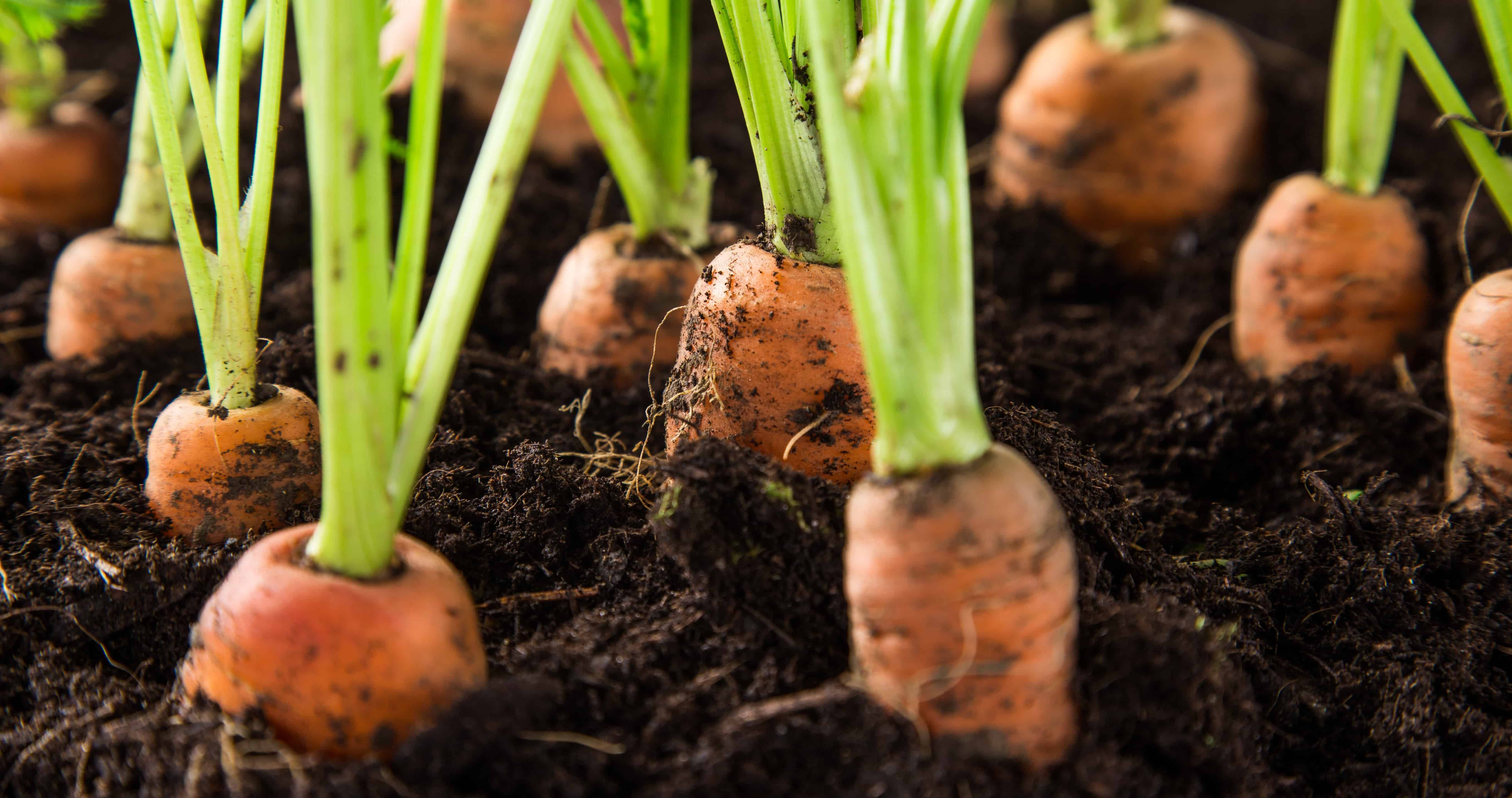 Climate requirement for Carrot farming