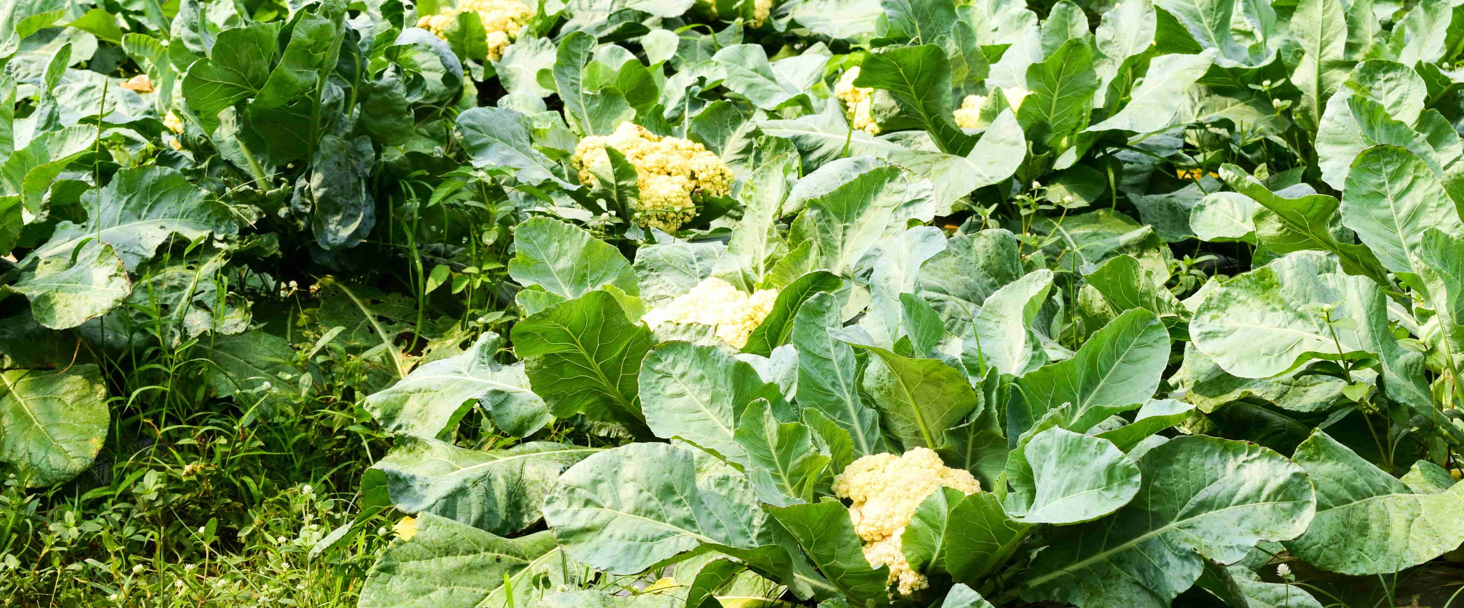 How to prepare nursery for cauliflower cultivation?