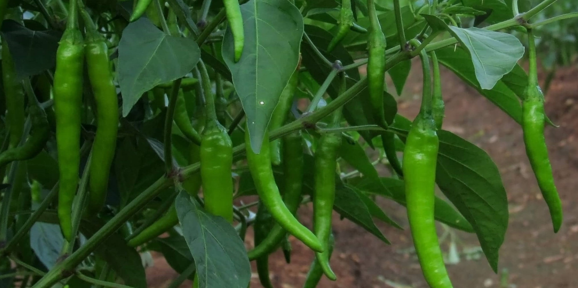 How to prepare the nursery for chilli cultivation ?