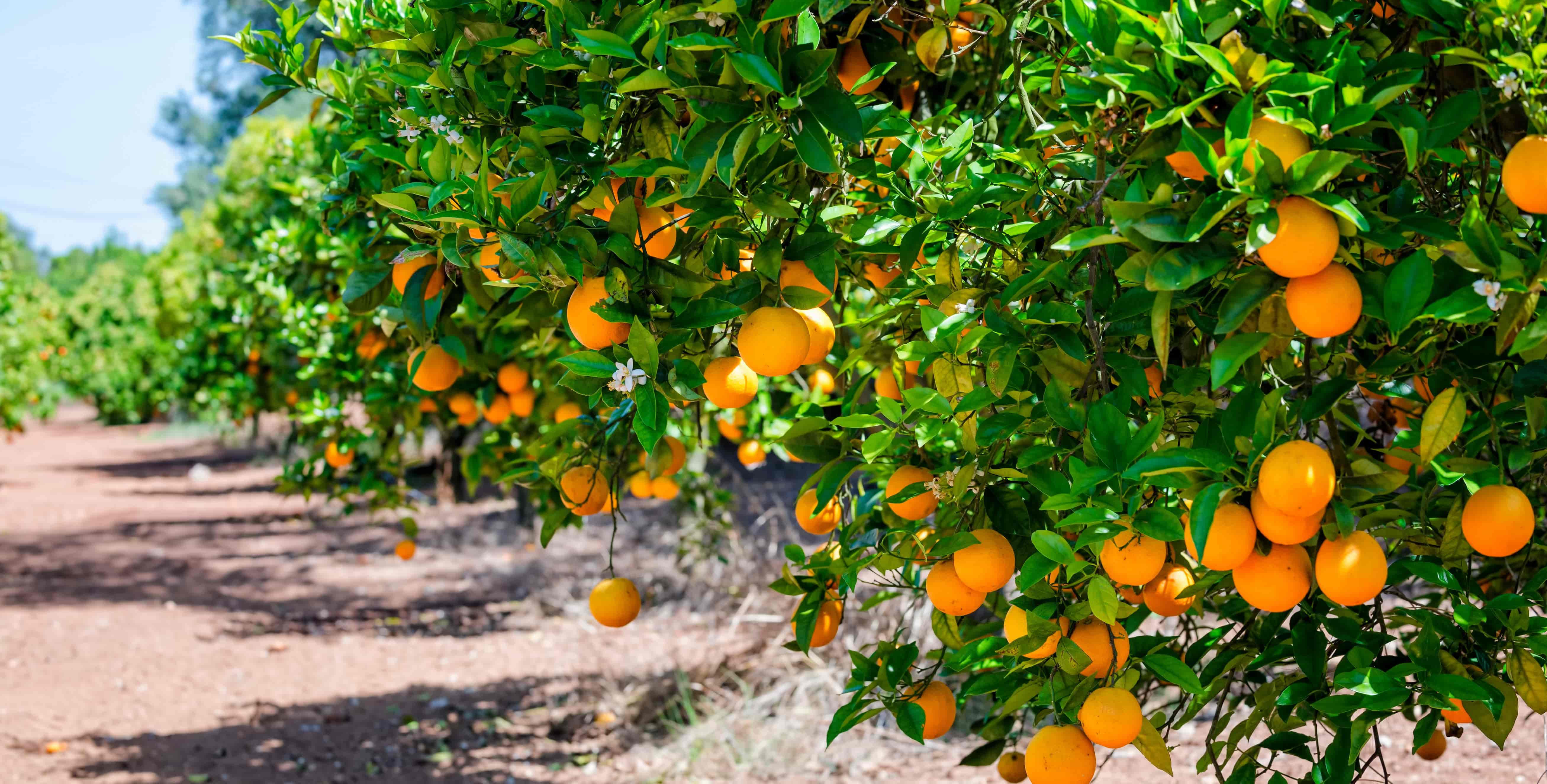 What should be the climate for the cultivation of citrus fruits?
