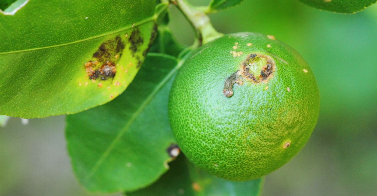 Citrus Canker Disease of lemon