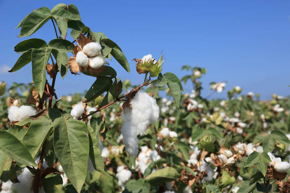 General information about Cotton