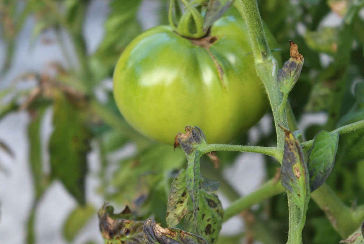 Early blight disease of tomato