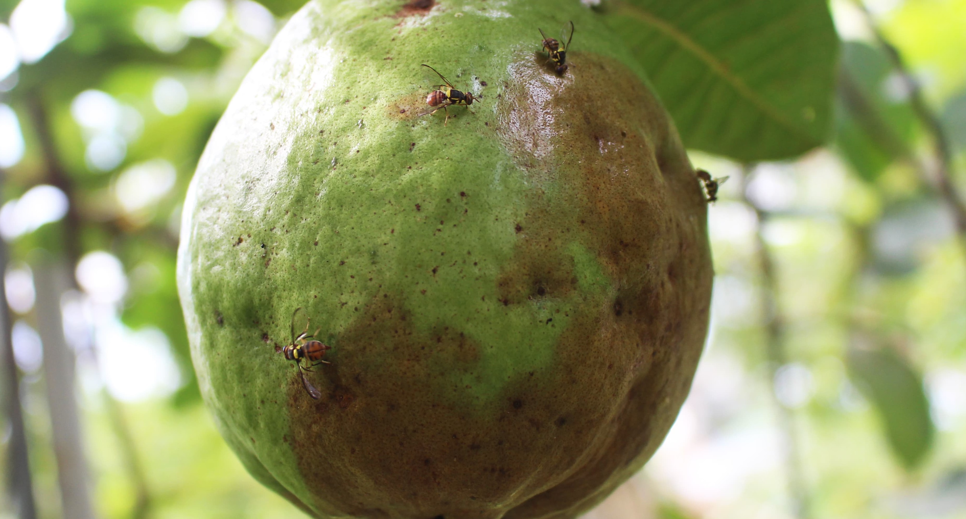 How to control Fruit fly in Guava?