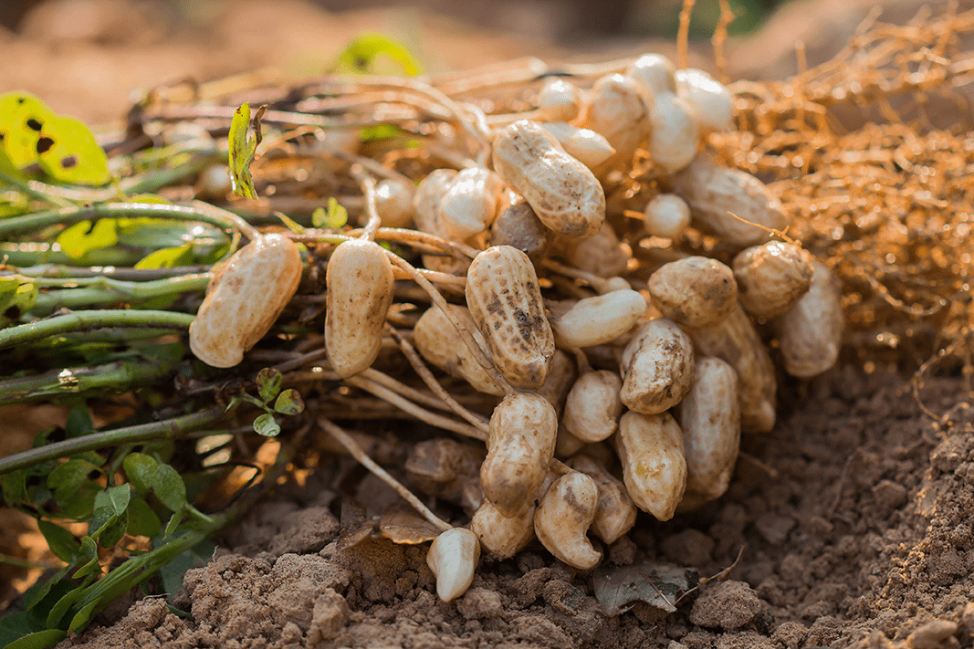 General Information about Groundnut