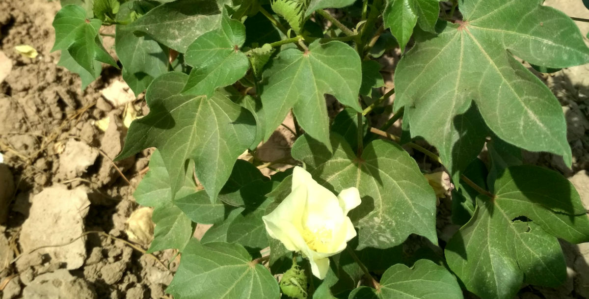 How to control leaf curl disease of Cotton?