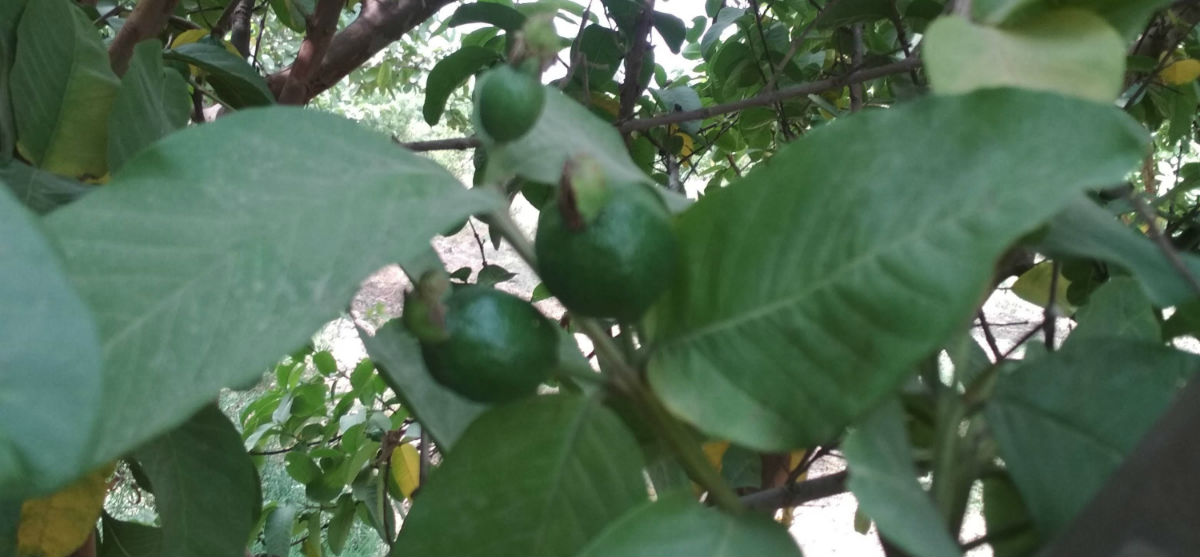 Climatic requirement for Guava cultivation