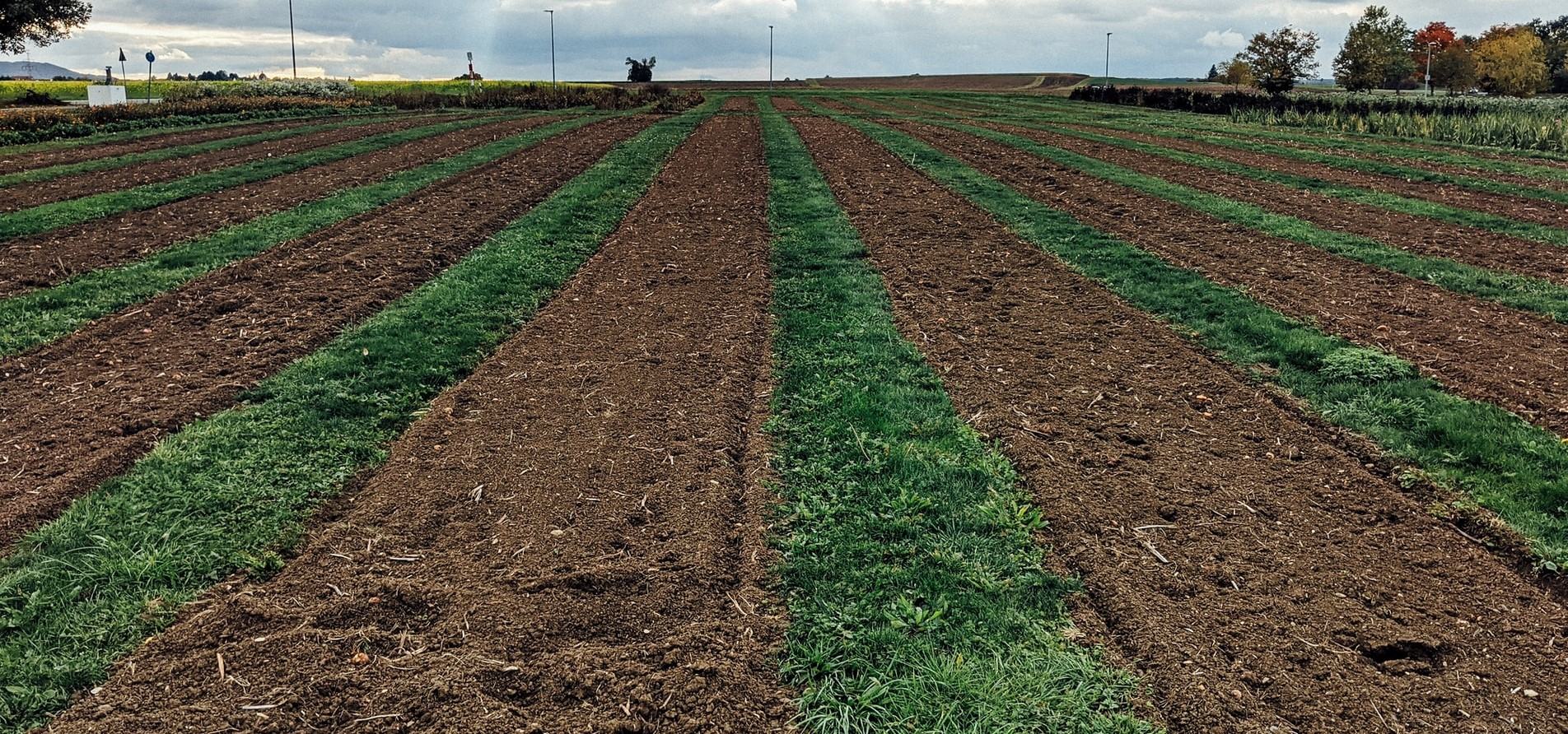 How to prepare field for Rabi maize?