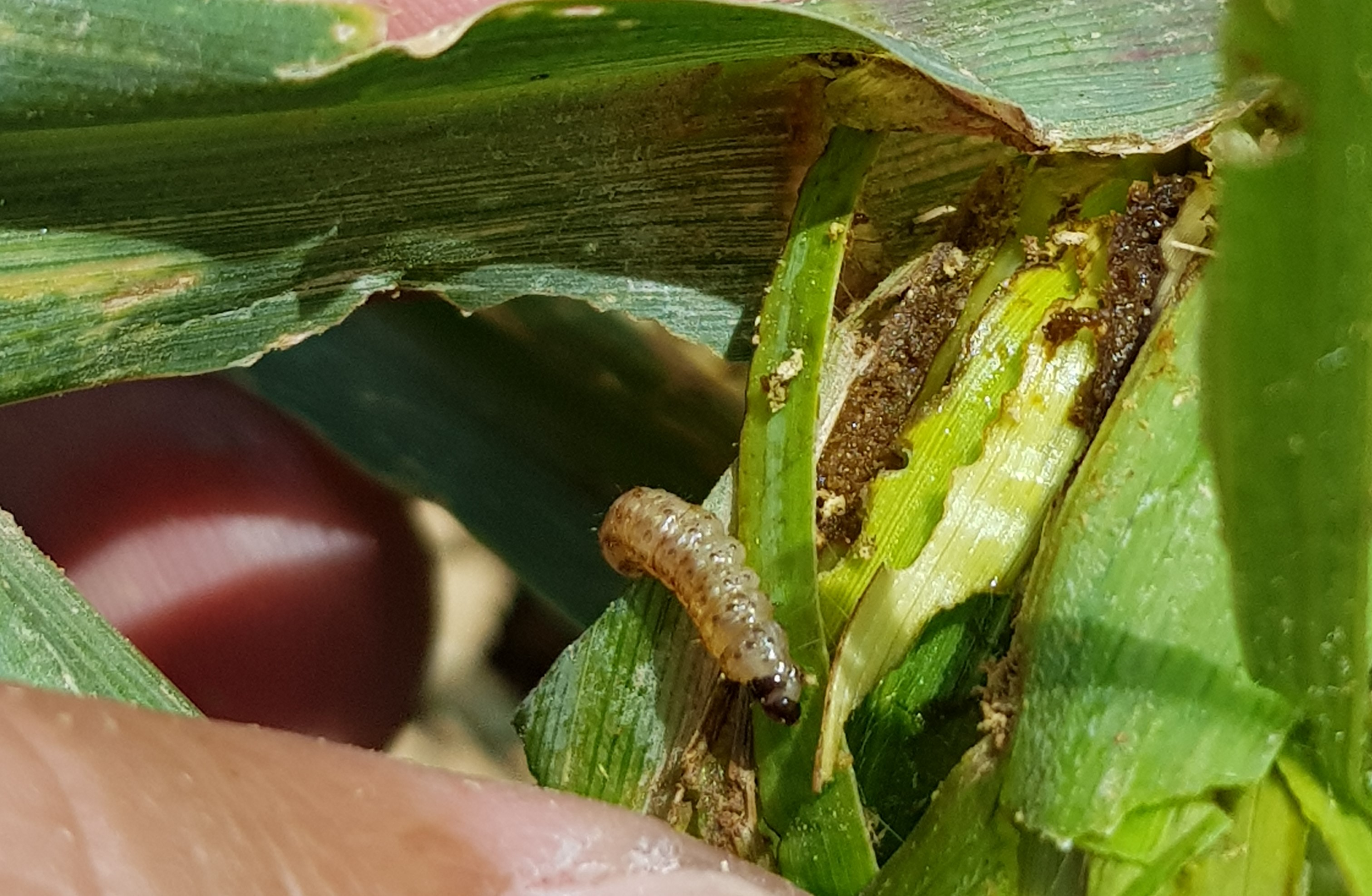 What are the harmful effects of stem borer on maize crop?