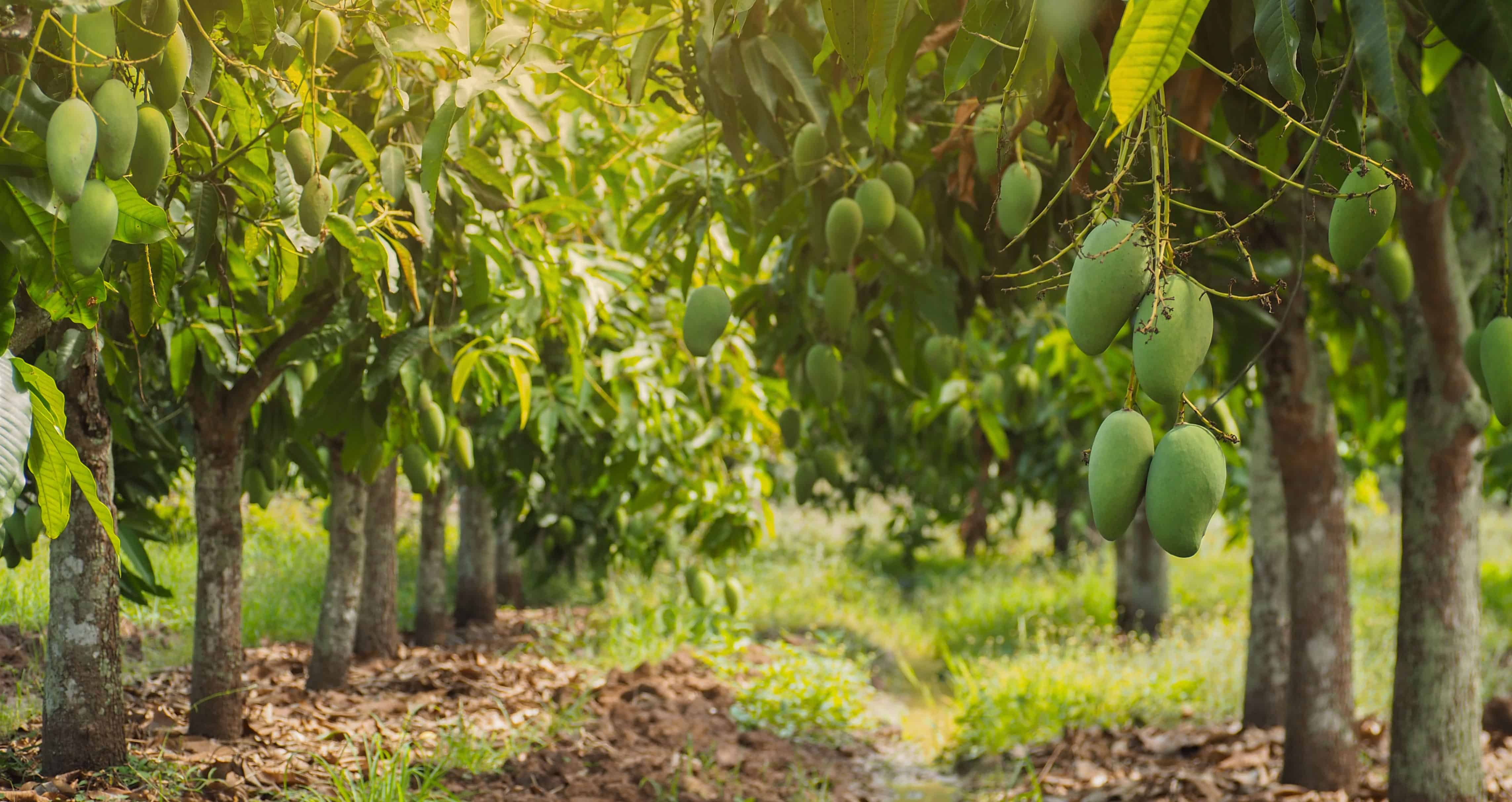 How to manage nutrient application in mango cultivation?