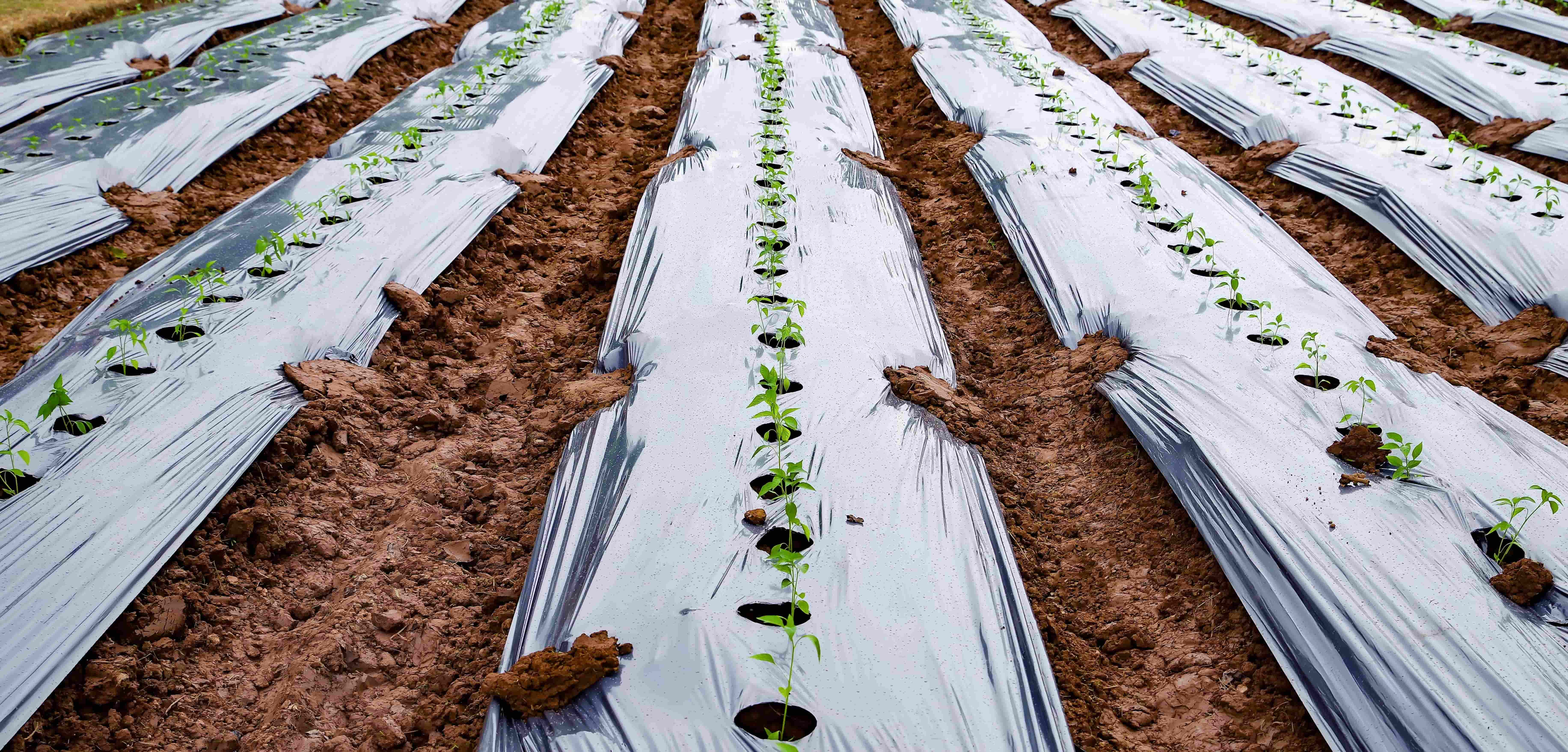 How Mulching plays an important role in Agriculture?