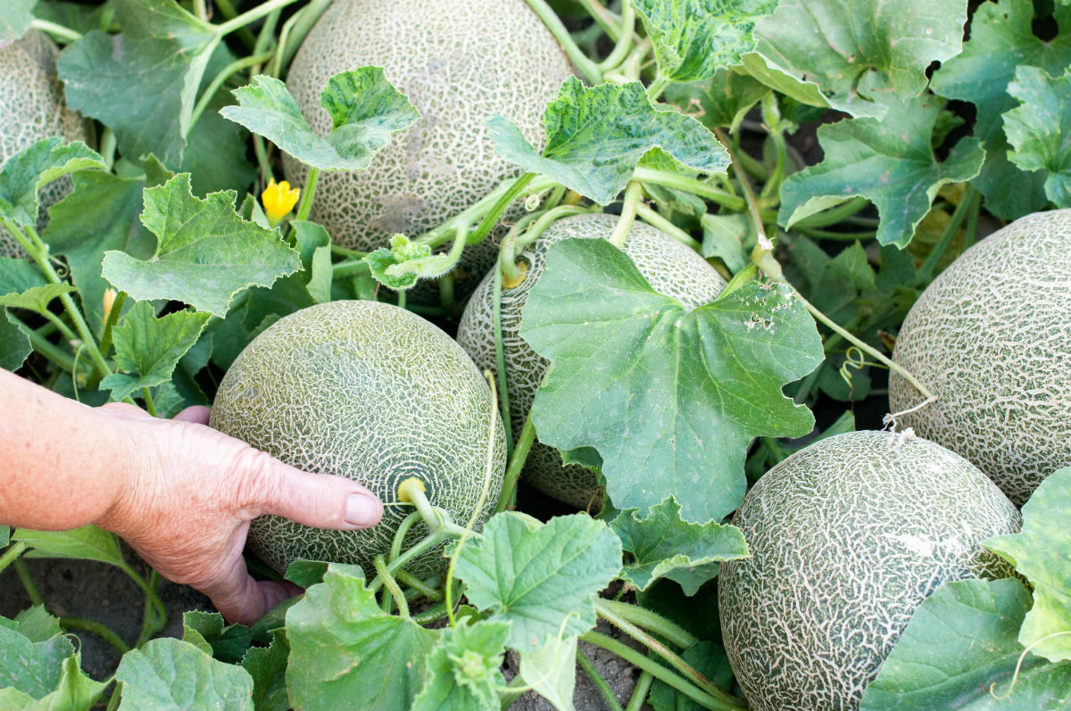 Nutrient Management in Muskmelon
