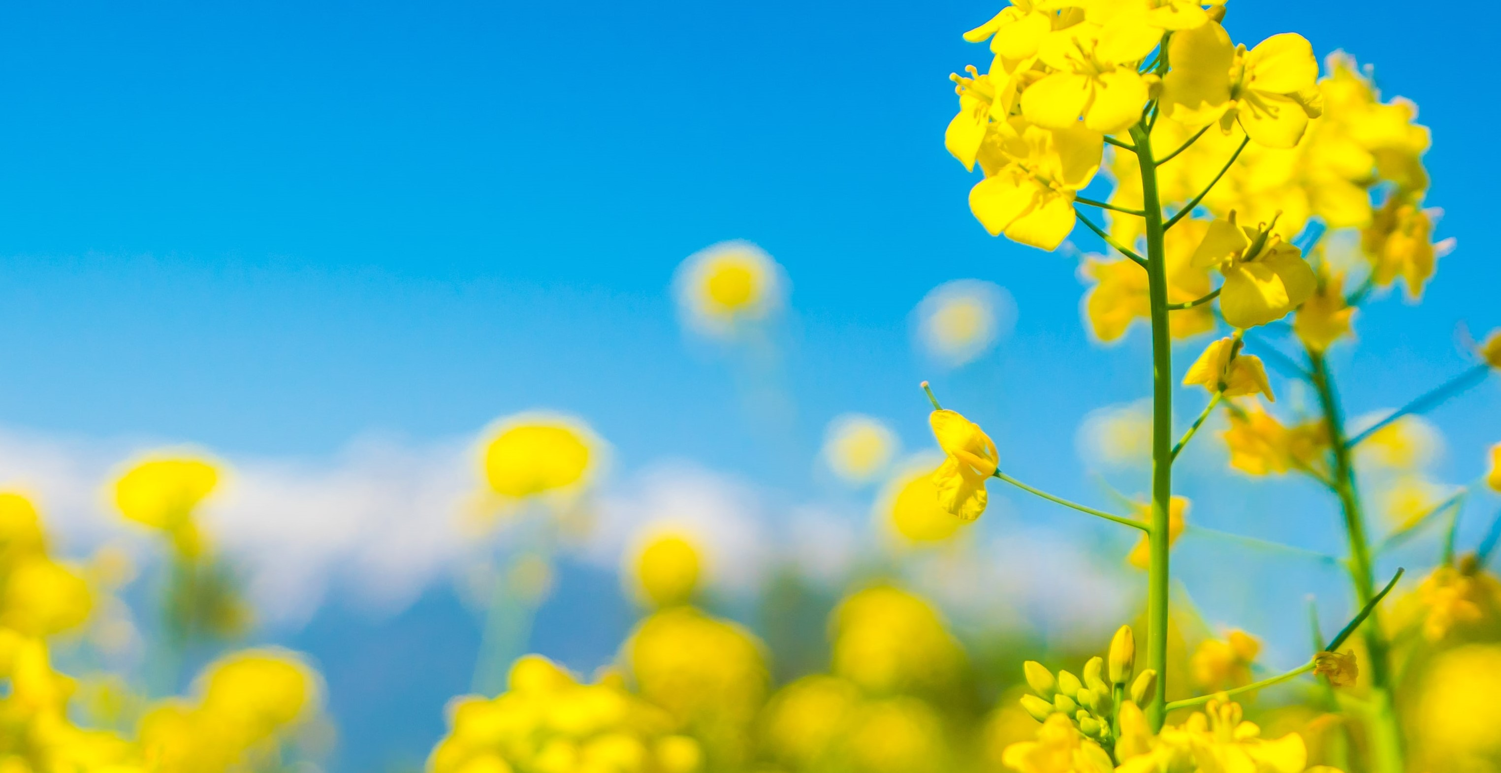 Suitable climate for the cultivation of Mustard