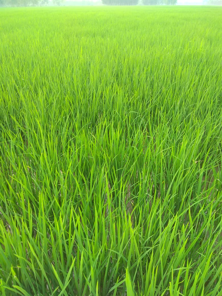How to prepare Nursery for rice cultivation