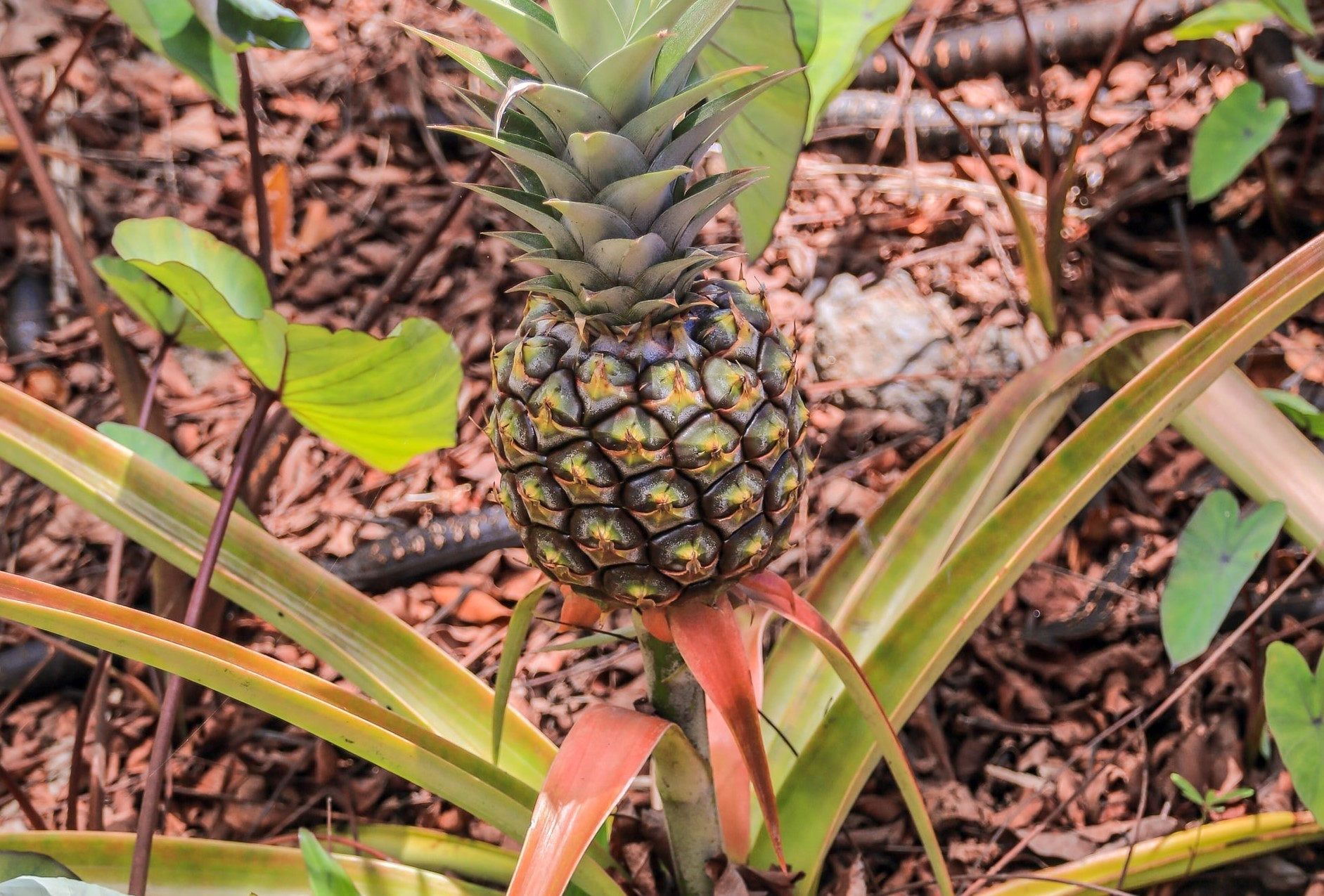 Some Important things about Cultivation of Pineapple