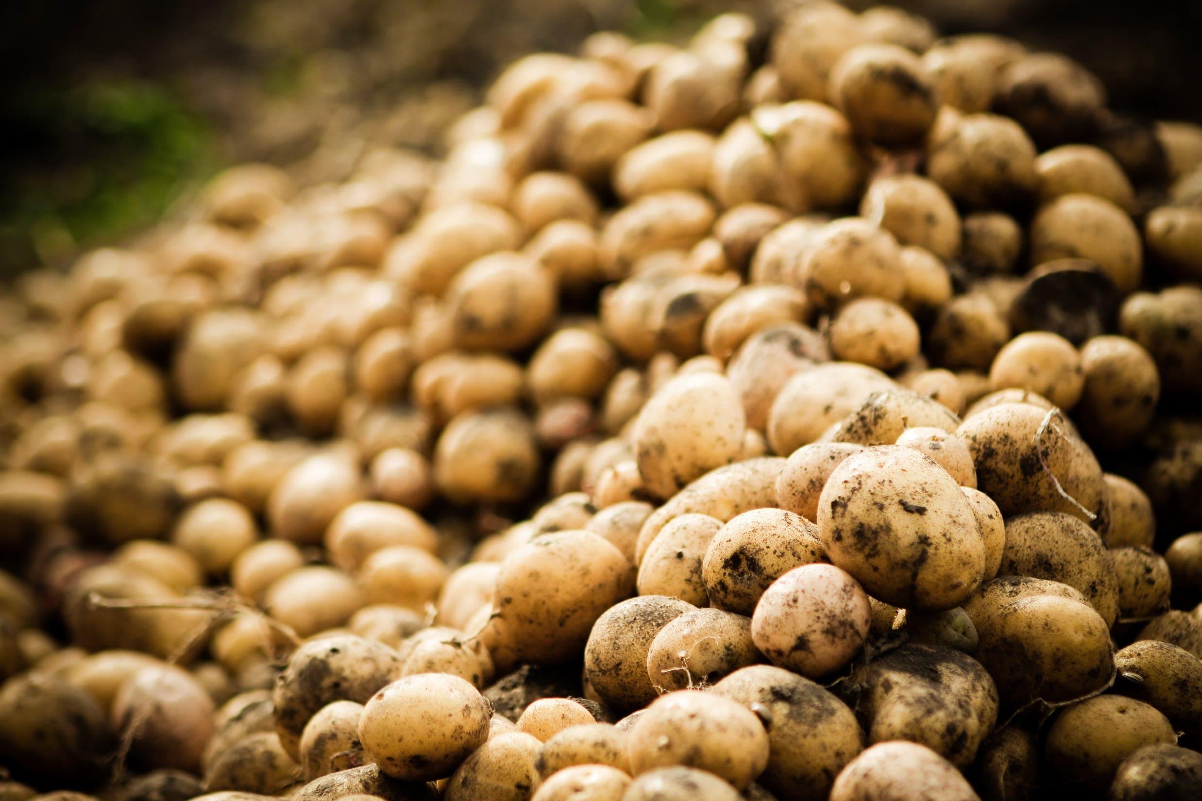Digging of Potato crop