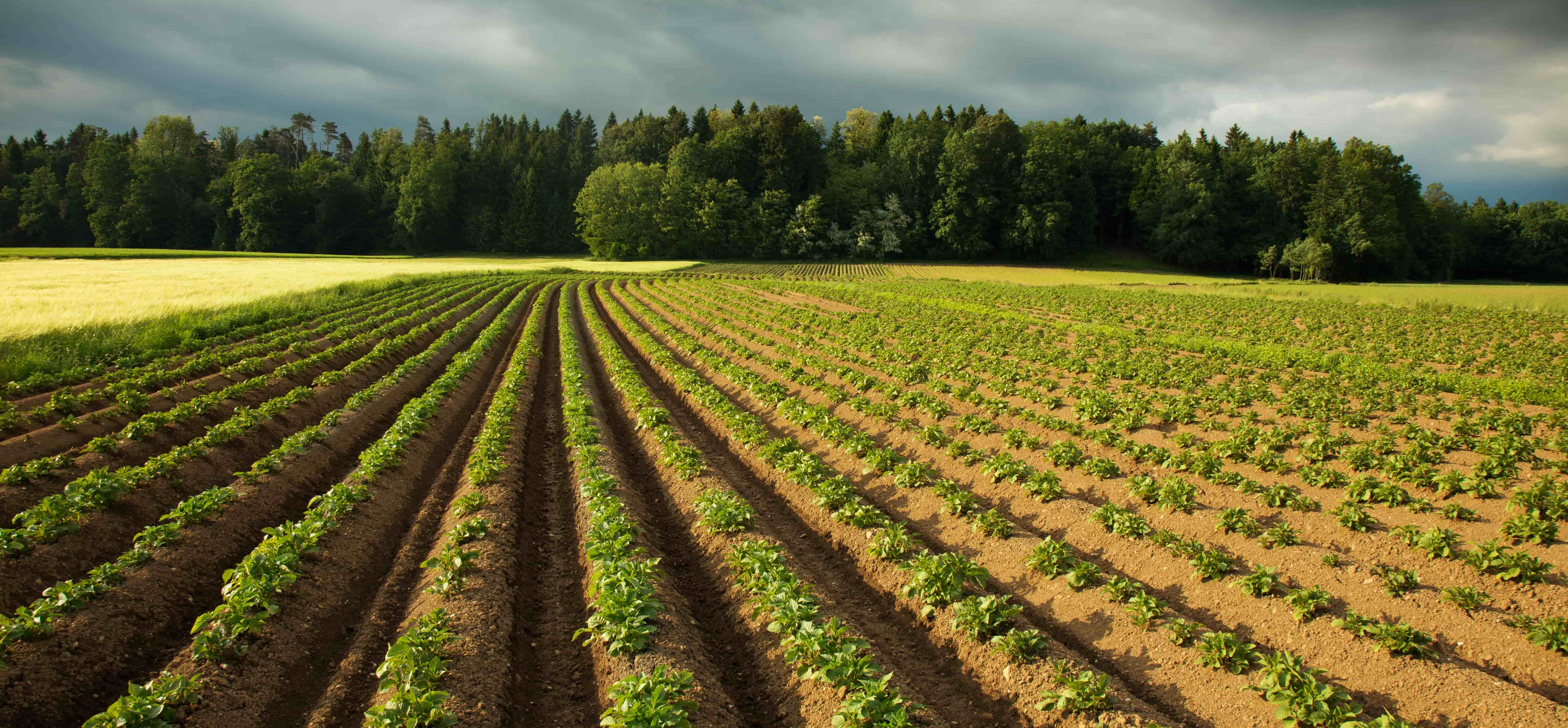 Selection of varieties for potato farming