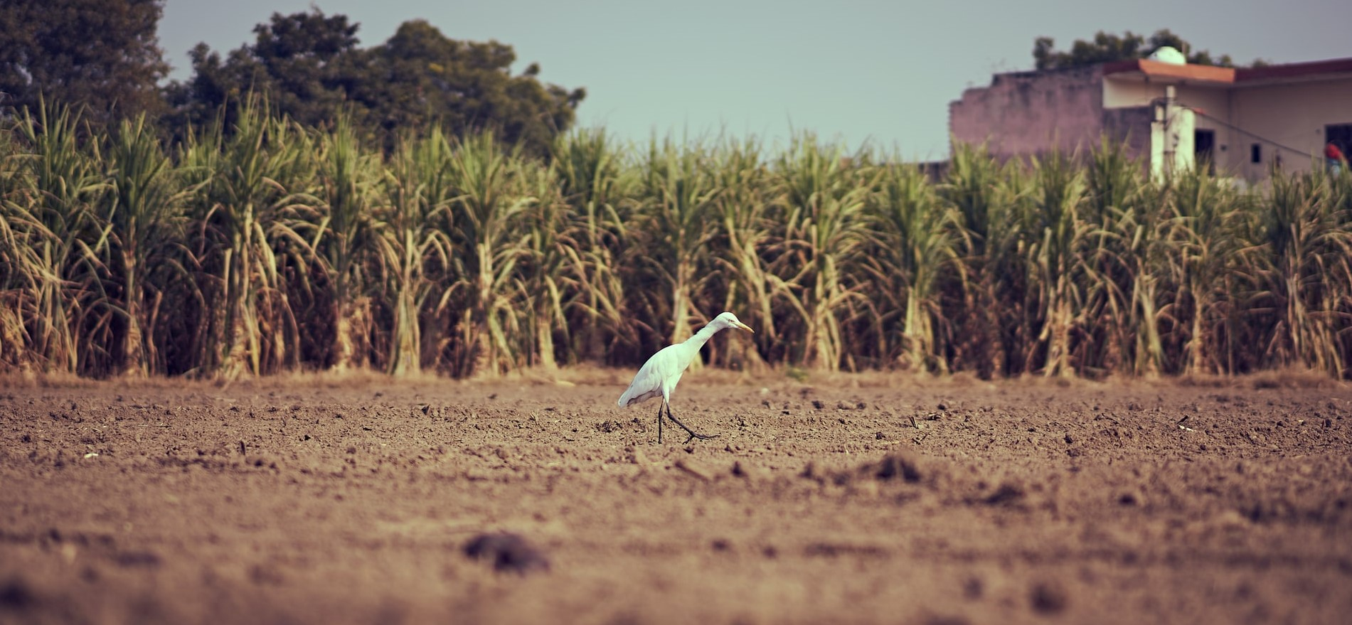 Harvesting of Sugarcane & Management of their residue