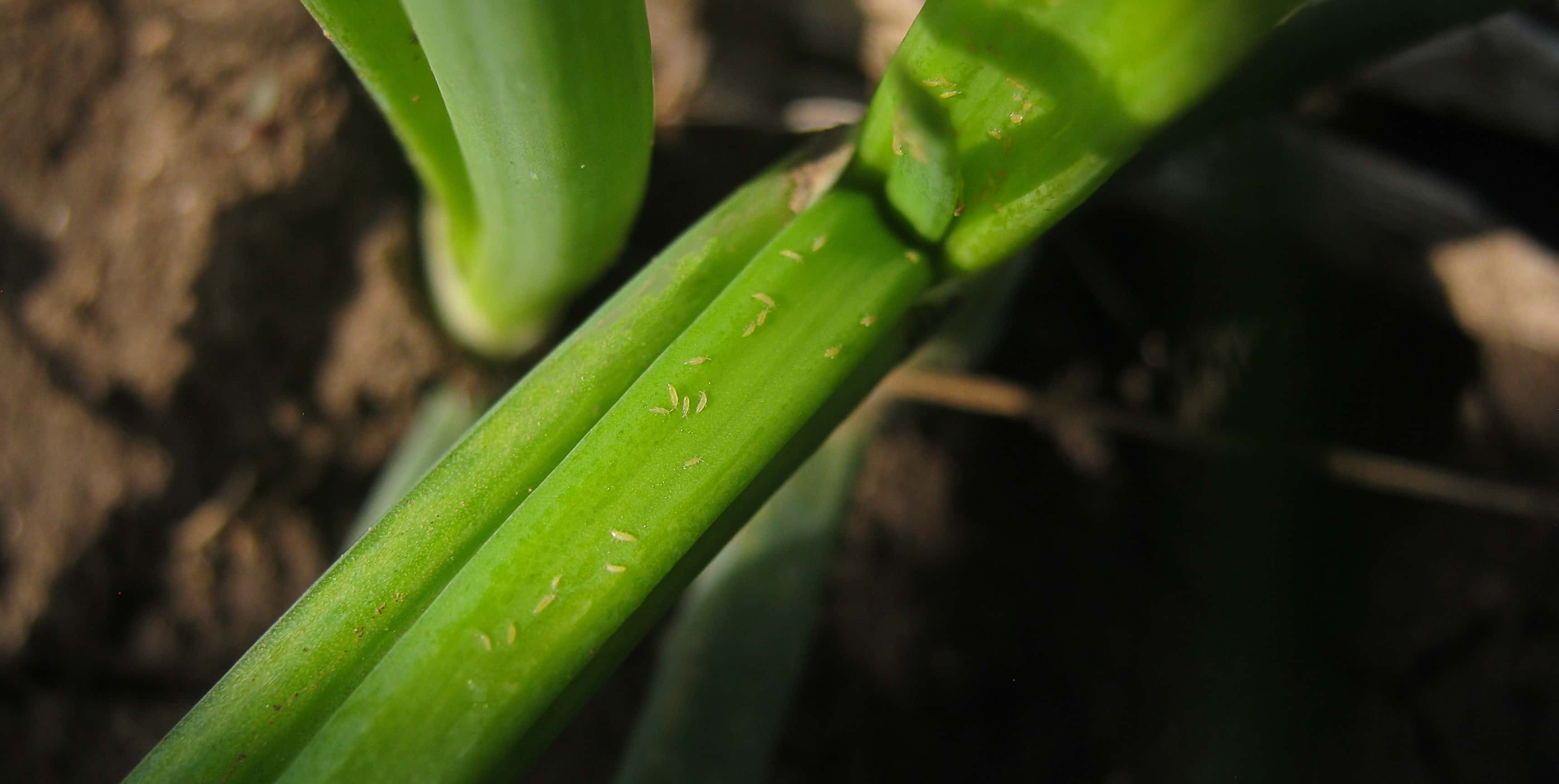 How to protect the crop from Onion Thrips?