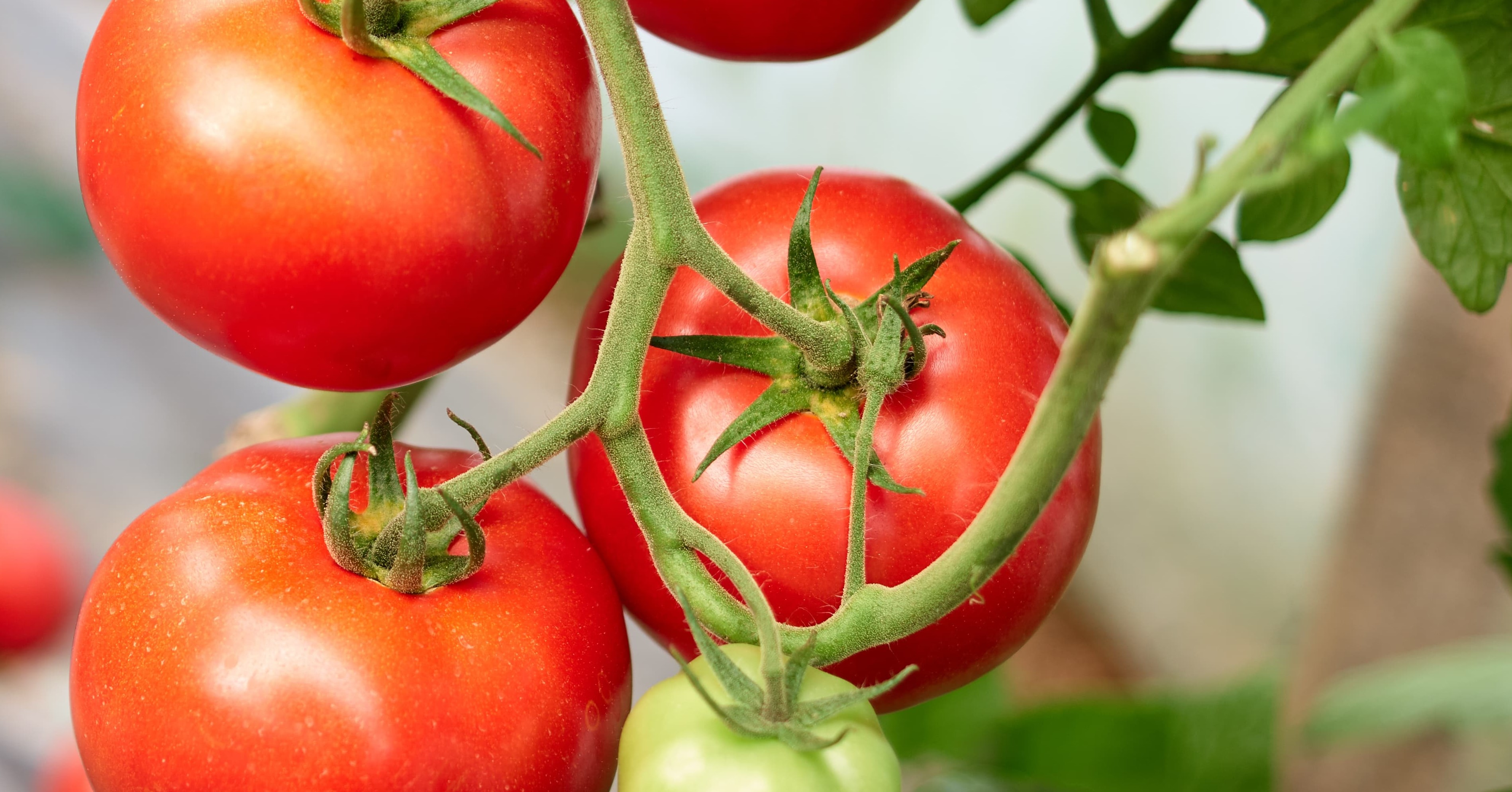 Suitable climate for Tomato cultivation