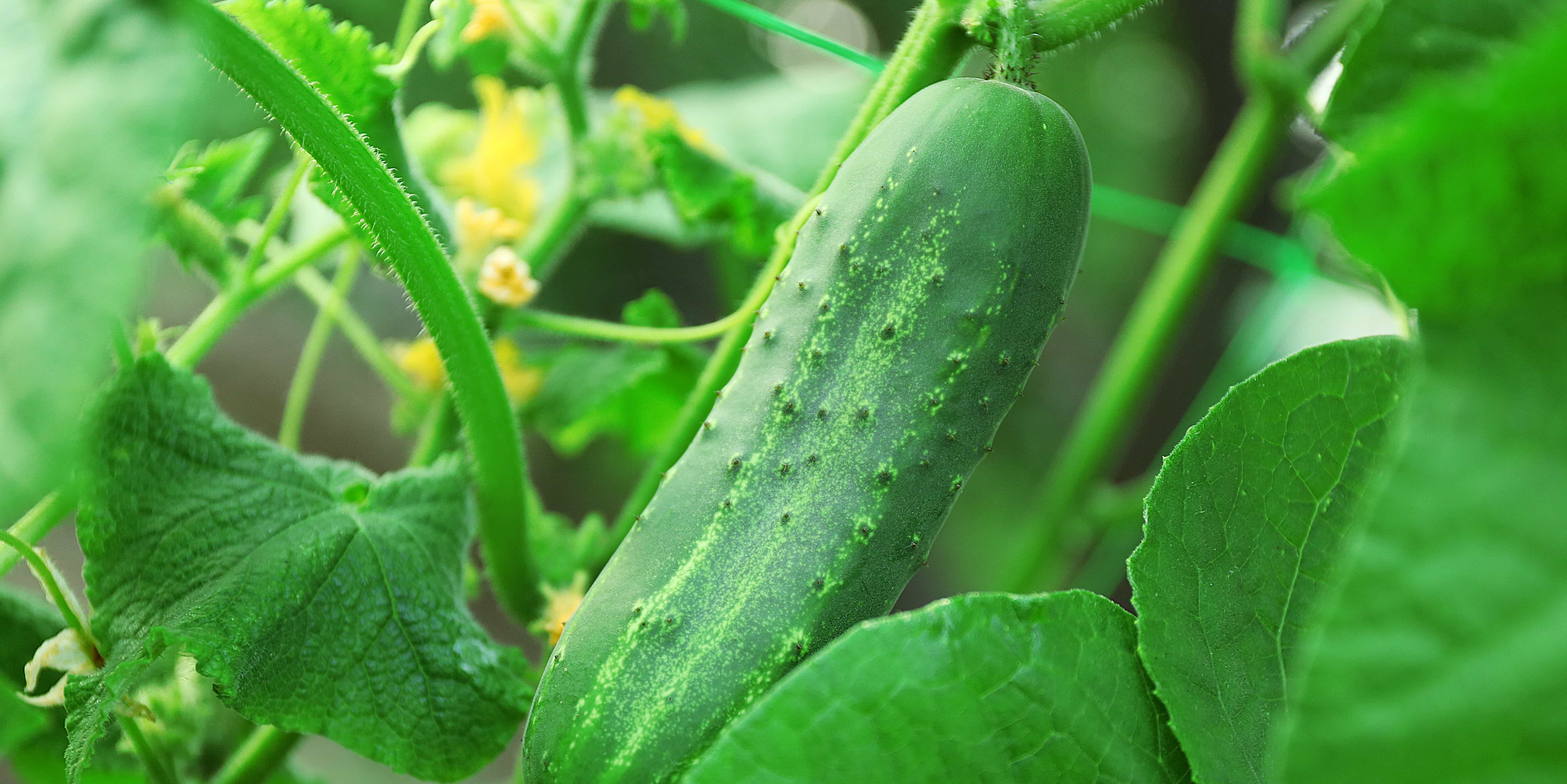 Suitable time to cultivate cucumber
