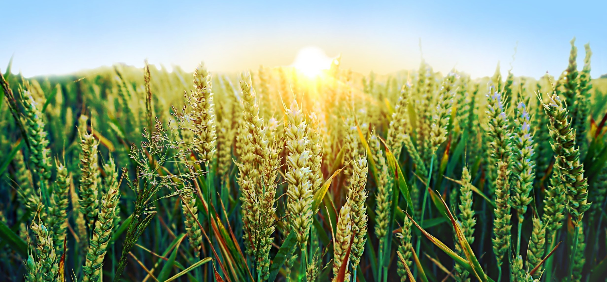 How can rising temperature affect wheat production?