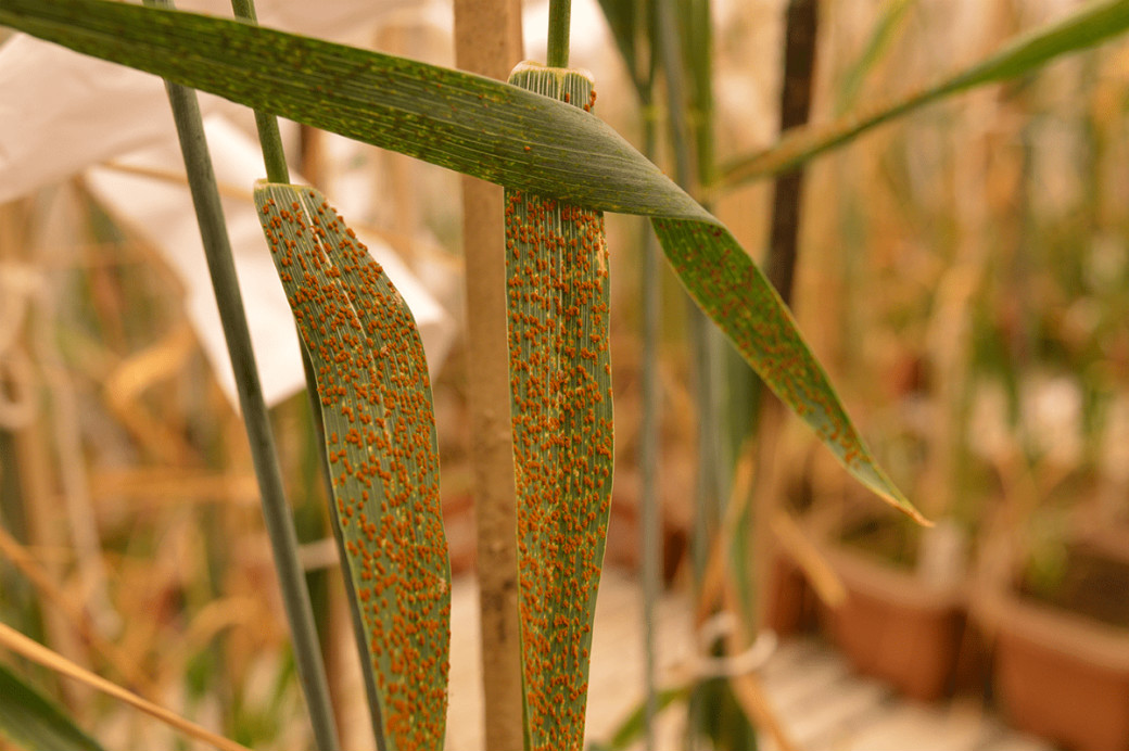 Yellow rust (Stripe rust) of wheat