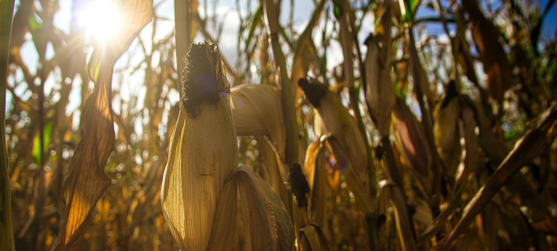How to manage fertilizer application in Rabi Maize?