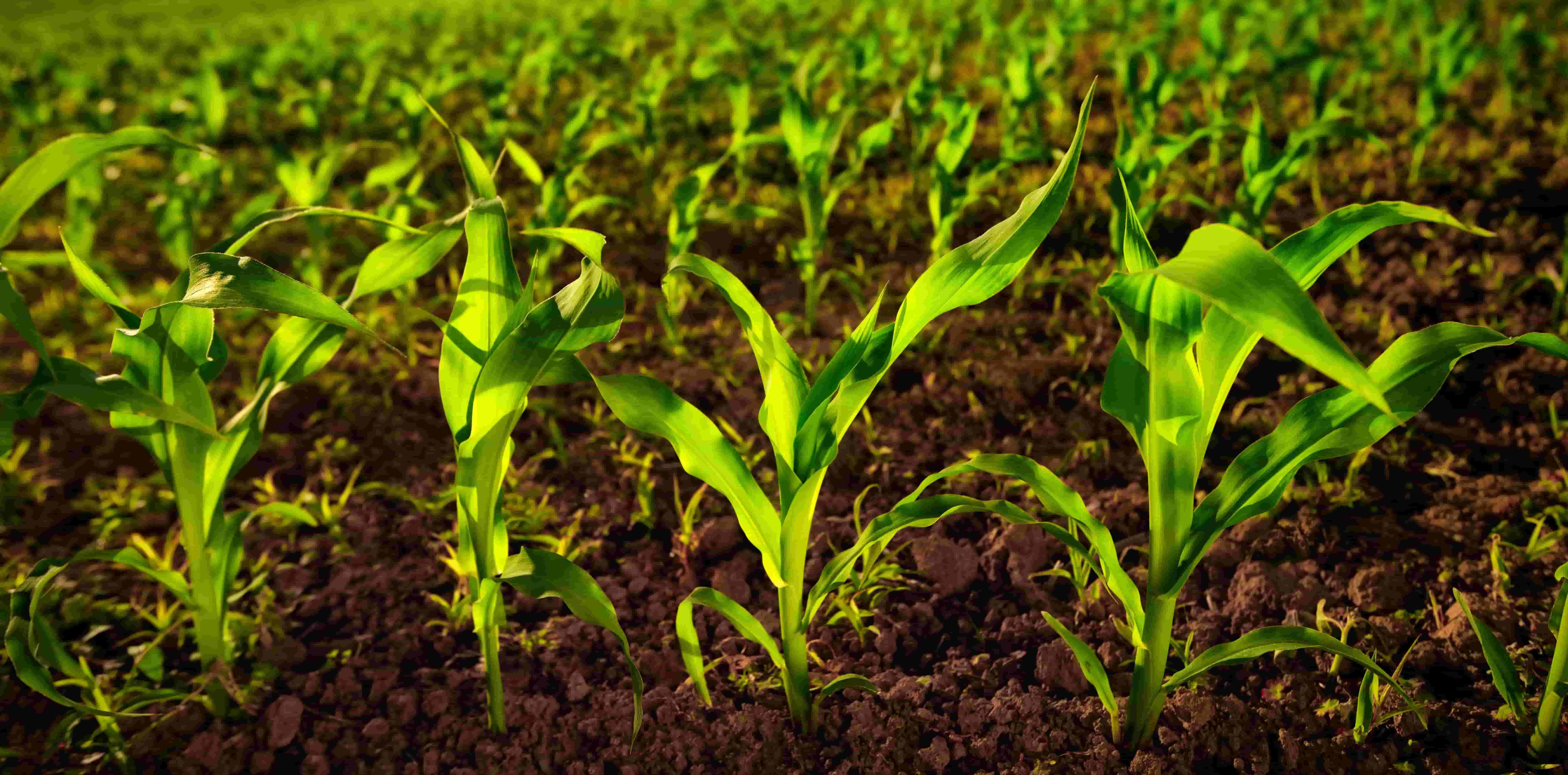 How to manage irrigation system in rabi maize crop?