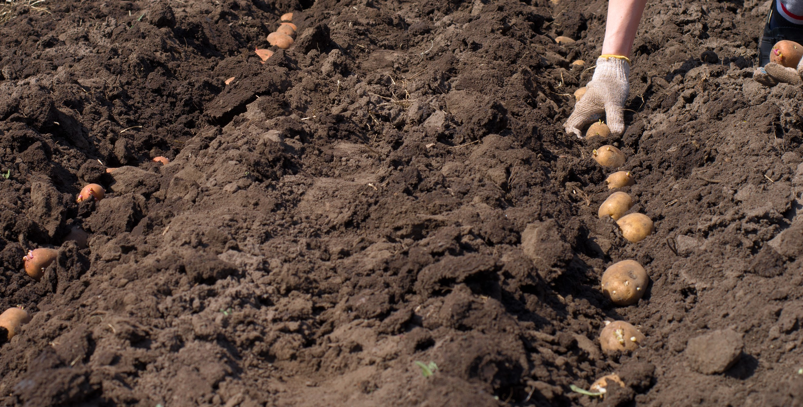 Proper sowing time for potato cultivation